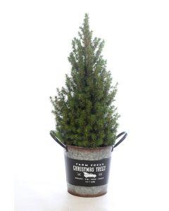 Picea glauca Conica in kerst emmer